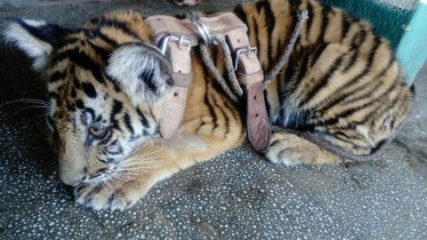 Conap rescató a otro tigre siberiano en Suchitepéquez