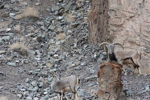 Reto visual: descubre al leopardo que quiere atacar al grupo de cabras