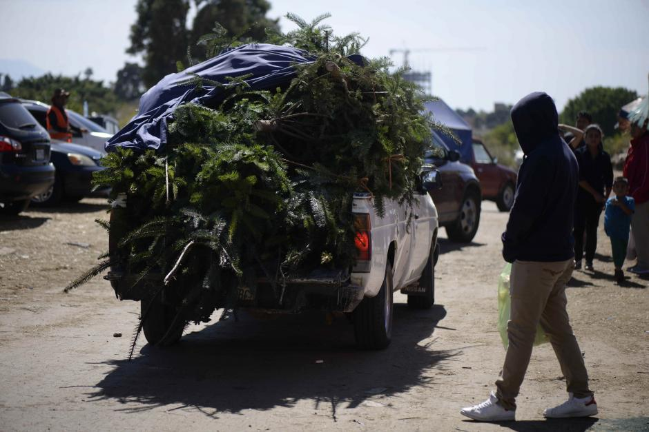 Guatemaltecos se arriesgan a comprar ramillas de pinabete