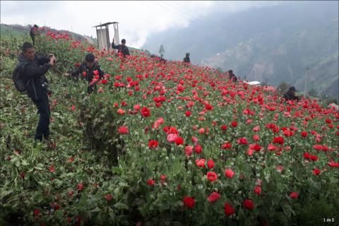 Erradican amapola valorada en más de Q109 millones en Tajumulco