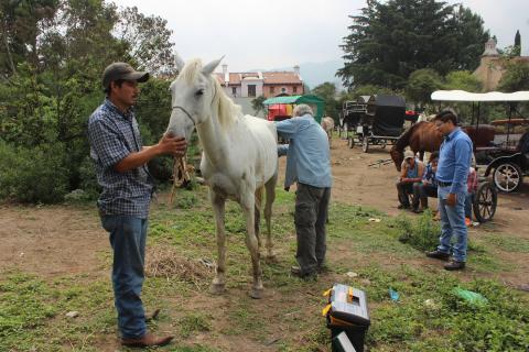 Una tragedia animal en la Antigua: los caballos que no pueden seguir