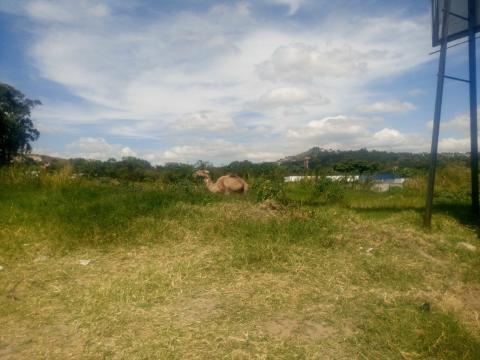 ¿Qué hacía un camello en un terreno baldío en Villa Nueva?