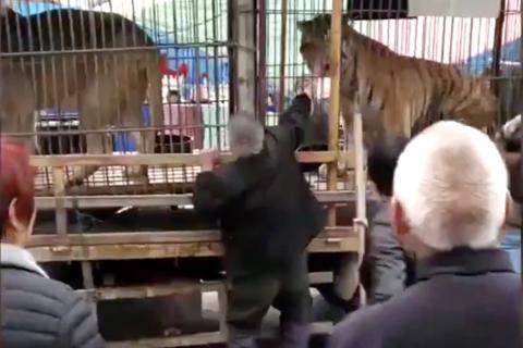 Graban el momento en que un tigre le muerde la mano a un hombre