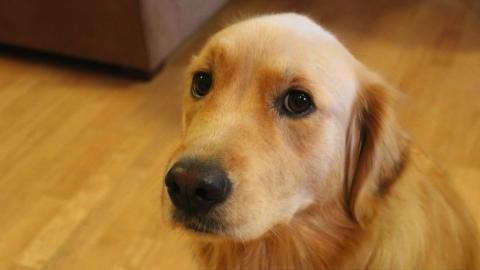 Estudio afirma que los perros pueden engañar para conseguir sus fines