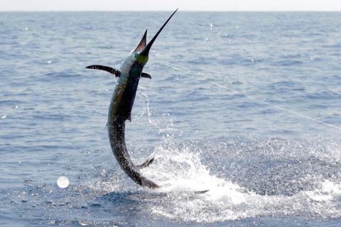 Liberación de pez vela y marlines en el Pacífico guatemalteco