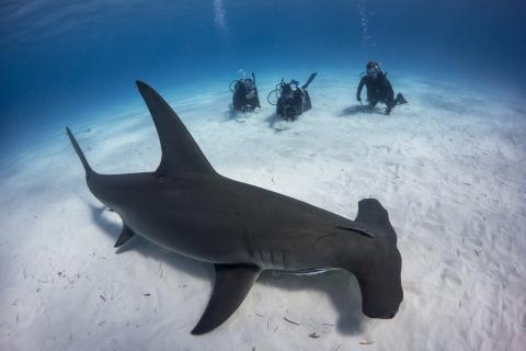 Descubren la primera especie de tiburón que no come carne