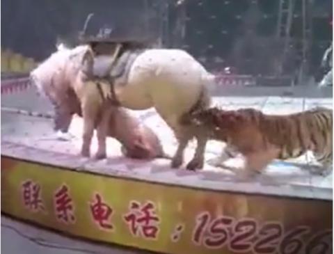 Terror en un circo tras el ataque de un tigre y un león a un caballo
