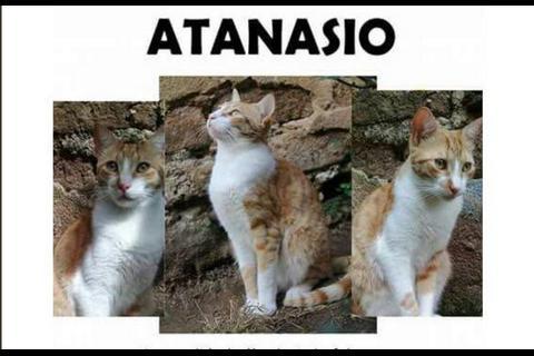 """Buscan a """"Ata"""", un gato perdido que enamoraba a las """"mishitas"""""""