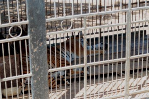 La comunidad que vive con temor de un nuevo ataque de un tigre