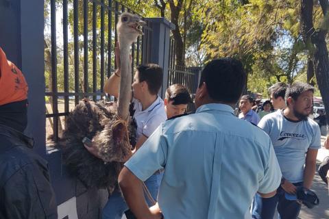 Una avestruz escapa de la USAC y causa terror en los estudiantes