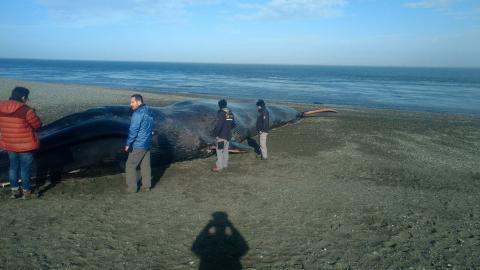 Acción en contra de ballena muerta genera indignación en el mundo