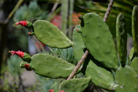 En Guatemala los cactus están en peligro de extinción
