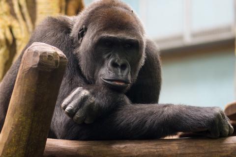 Louis, el gorila que camina en dos patas para no ensuciar sus manos