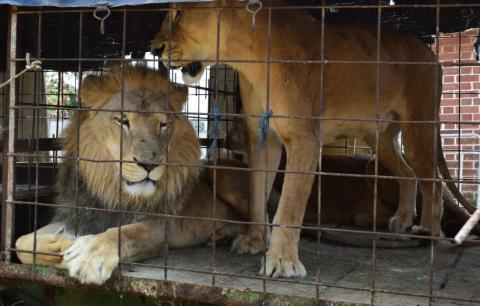 Circo entrega dos leones y serán albergados en el zoológico La Aurora