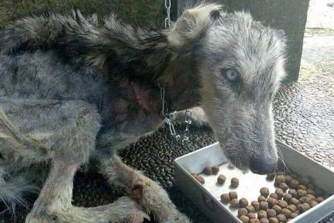 Increíble transformación de un husky que estaba al borde de la muerte