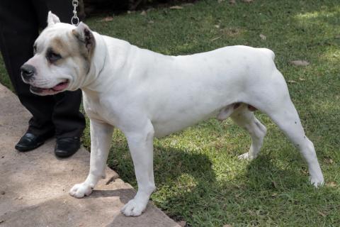 Los más impresionantes perros de Guatemala: visita la exposición