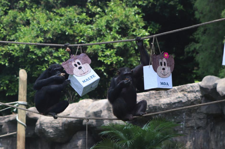 """Así festejaron los """"Chimpáticos"""" sus dos años en el Zoo La Aurora"""