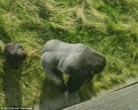 La tierna historia de Jambo, el gorila que protegió a un niño