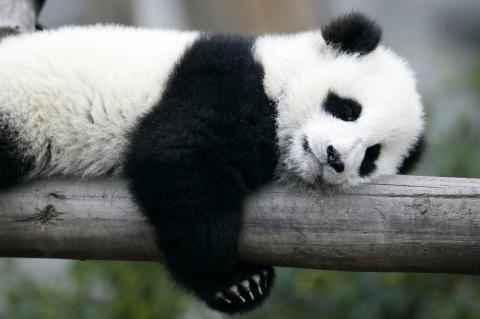 Video de osito panda se vuelve viral por la forma en que se divierte