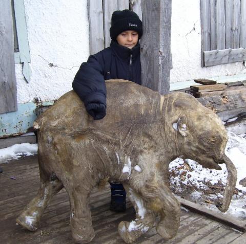 La cría de mamut  mejor conservada del mundo se expone en Europa