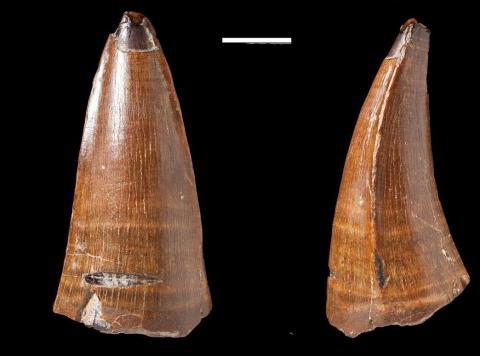 Descubren el diente fosilizado de un cocodrilo prehistórico