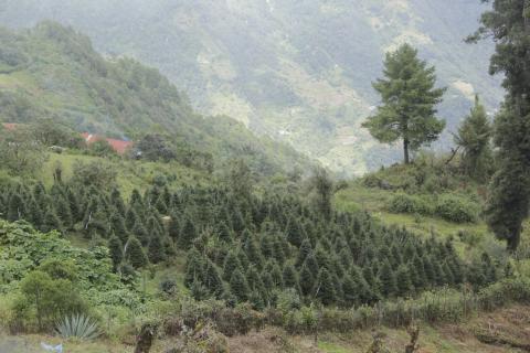 Así llega un pinabete de las montañas a tu hogar para Navidad