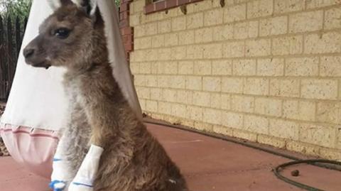 Cachorro de canguro se recupera tras sufrir quemaduras en incendio