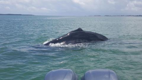 Avistan otra ballena jorobada en la Bahía de Amatique