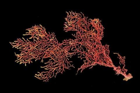 Identifican nueva especie de coral en Panamá