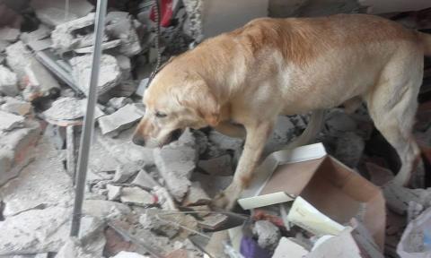 Perro rescatista muere de cansancio tras salvar víctimas del terremoto