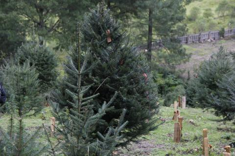 Vive una Navidad 100% guatemalteca comprando pinabetes