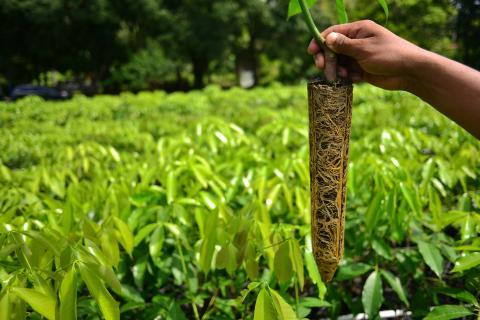 Caucho natural, un cultivo con altas expectativas en Guatemala