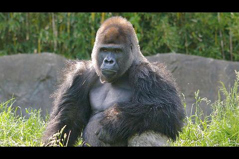 ¡Sorprendente! Dos gorilas pelean en zoológico frente a los visitantes