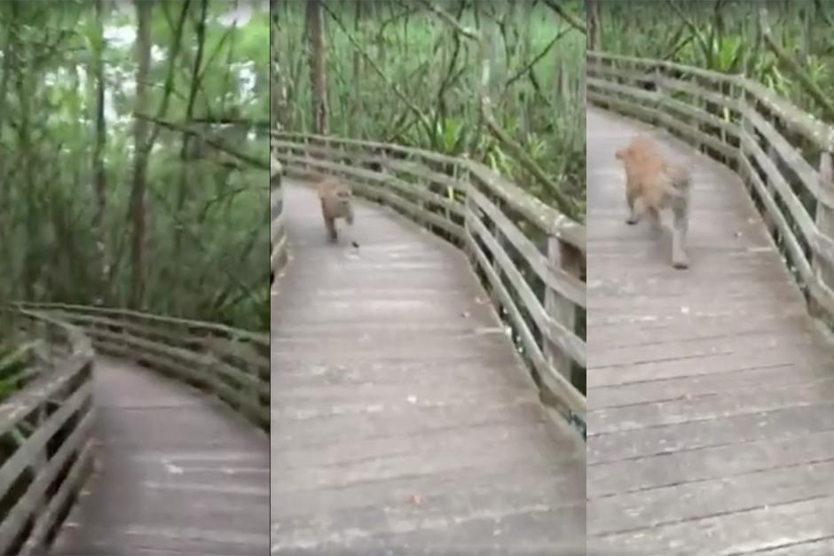 Un animal salvaje interrumpe el paseo de una mujer, aquí su reacción