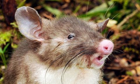 """Descubren """"rata con nariz de cerdo"""" en Indonesia"""
