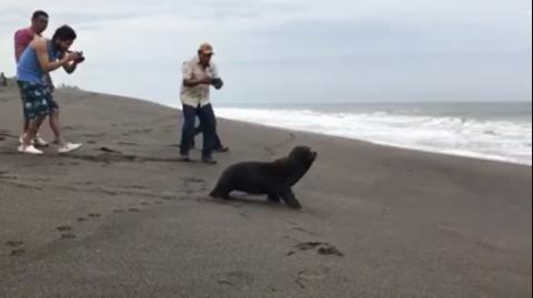 Lobo marino es rescatado y liberado en reserva natural de Monterrico
