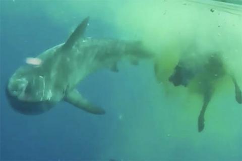 ¡Insólito! Un tiburón devora a una vaca en medio del océano