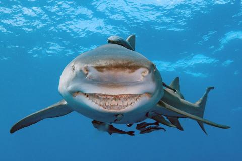 Conoce a Snooty, el tiburón limón con una peculiar sonrisa