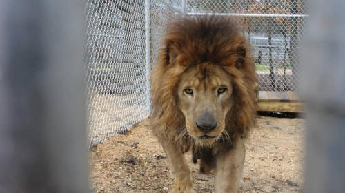 "Fallece ""Kazuma"", el primer león que el Conap rescató en Guatemala"