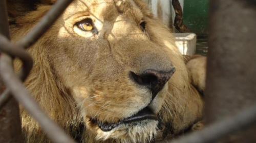 El sustituto de Kazuma: la historia del primer león rescatado del país