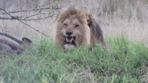 Hombre quiso grabar a un león que comía y se llevó el susto de su vida