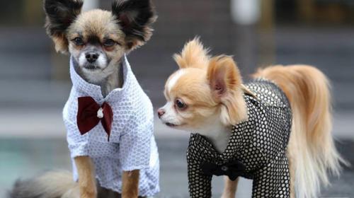 Guatemalteca diseña moda para perros inspirada en una noble causa
