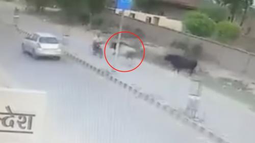 Un toro embiste a un motorista en marcha en la India
