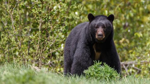 Un hombre sobrevive al ataque de un oso durante un campamento