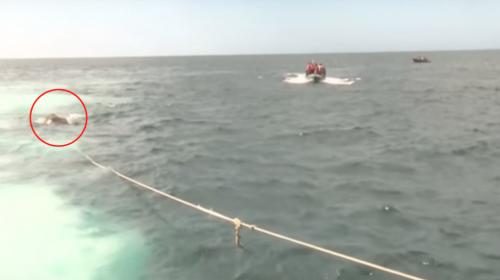 Así rescataron a un elefante que nadaba a la deriva en el mar
