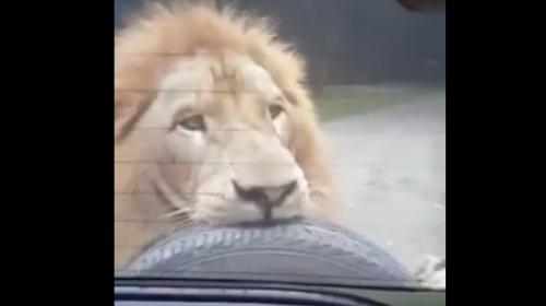 Un león sorprende a una familia en Auto Safari Chapín