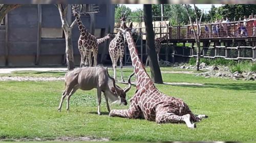 Pelea entre un antílope y una jirafa queda grabada en video