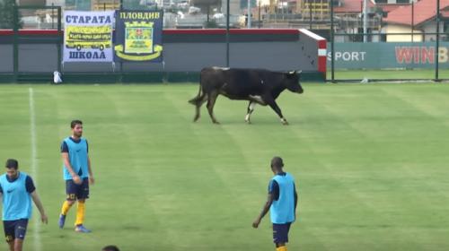 ¡Insólito! Un toro se mete al campo e interrumpe un partido de fútbol