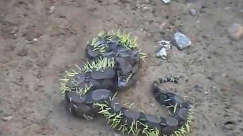La dolorosa experiencia de la serpiente que quiso comer puercoespín