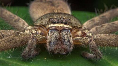 """Hallan a """"la madre de todas las arañas"""" en una vivienda en Australia"""